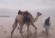 """قصة إبل """"هوليوودية"""" في صحراء السعودية"""